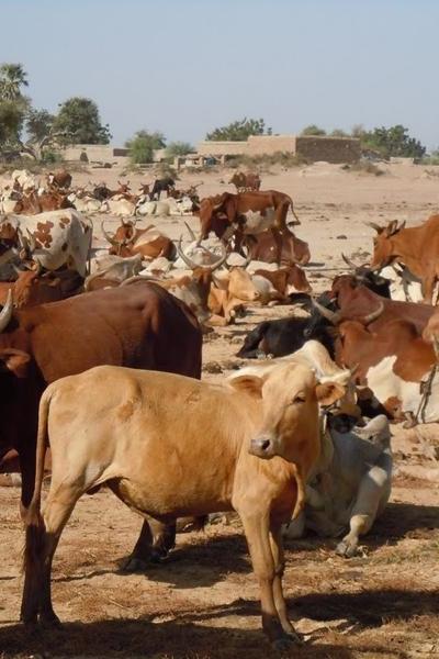 De jaarlijkse oversteek van de kudde